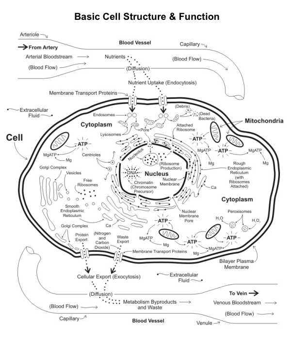 Animal cell organelle structure and functions chart